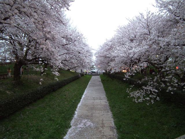 2015権現堂桜堤の桜(7)