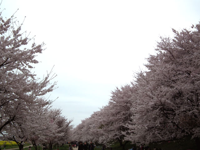 2015権現堂桜堤の桜(8)