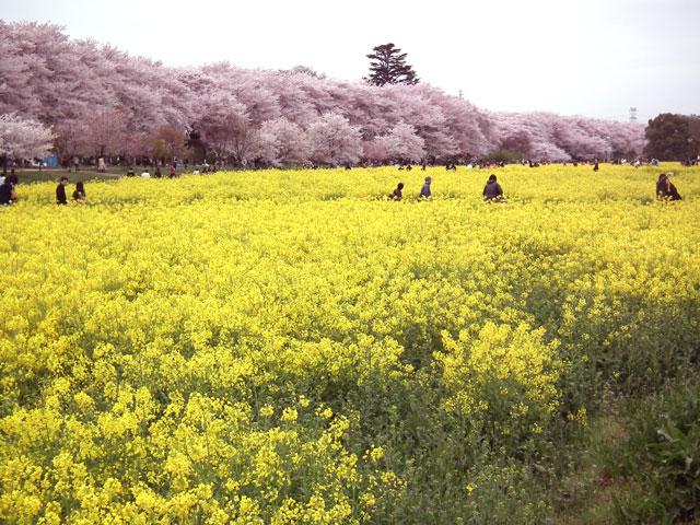 2015権現堂桜堤の菜の花(1)