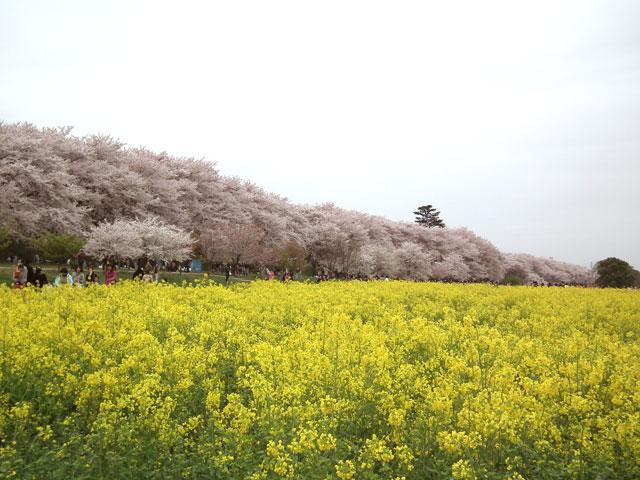 2015権現堂桜堤の菜の花(2)