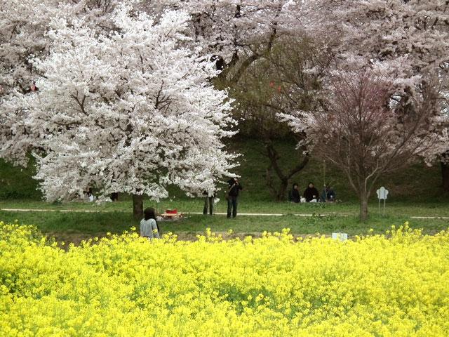 2015権現堂桜堤の菜の花(5)