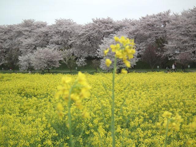 2015権現堂桜堤の菜の花(6)