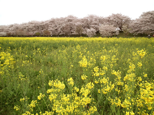 2015権現堂桜堤の菜の花(7)