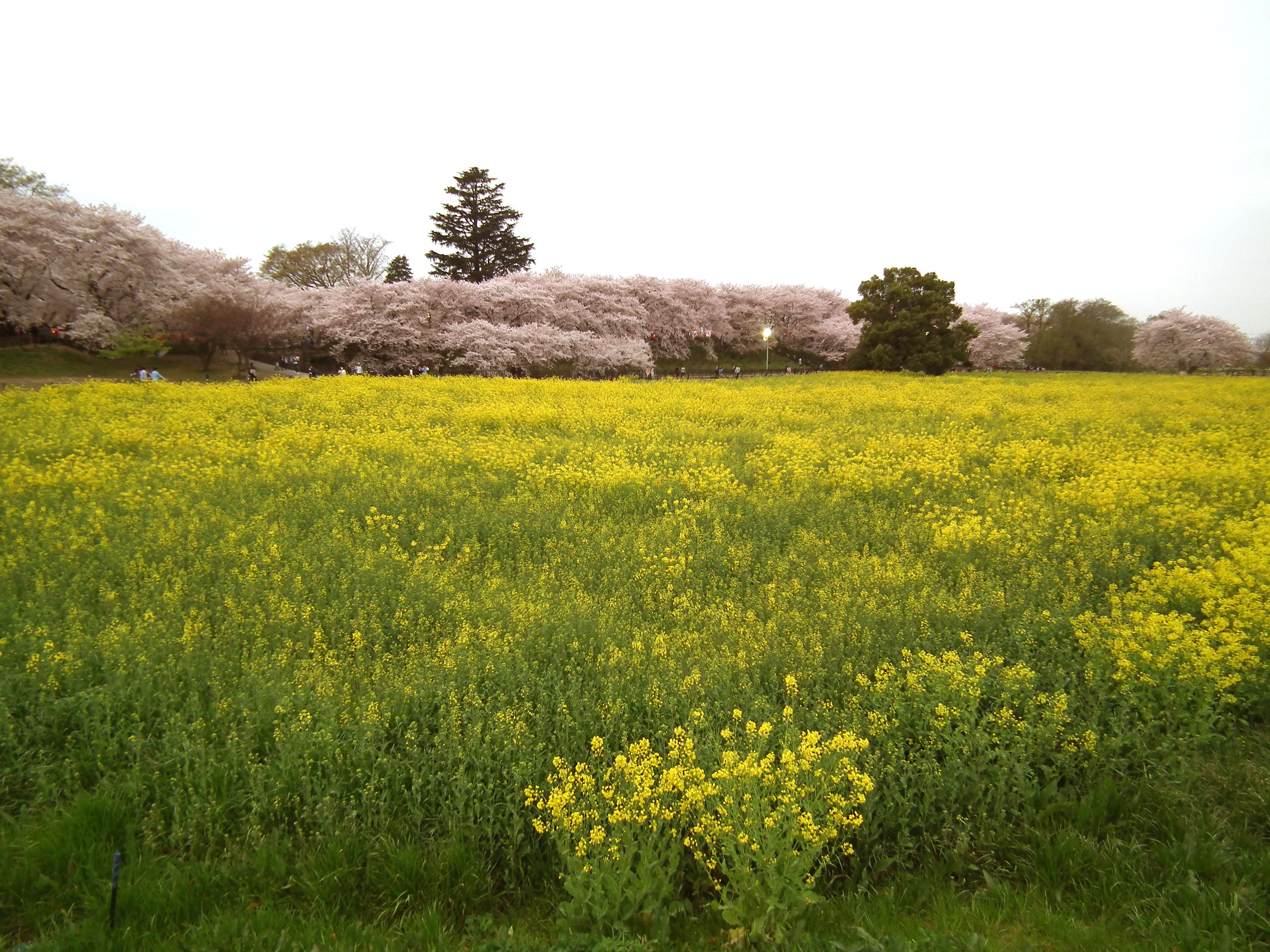 2015権現堂桜堤の菜の花(8)