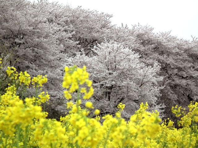2015権現堂桜堤の菜の花(9)