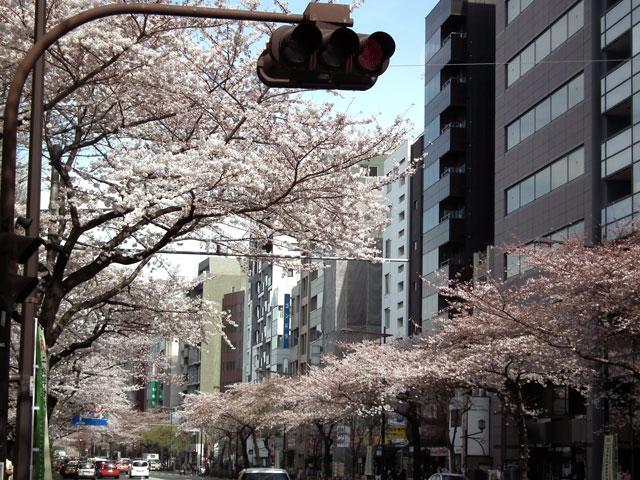 2015靖国通りの桜