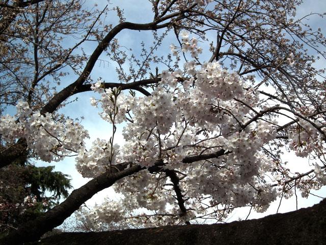 2015靖国神社の桜(5)