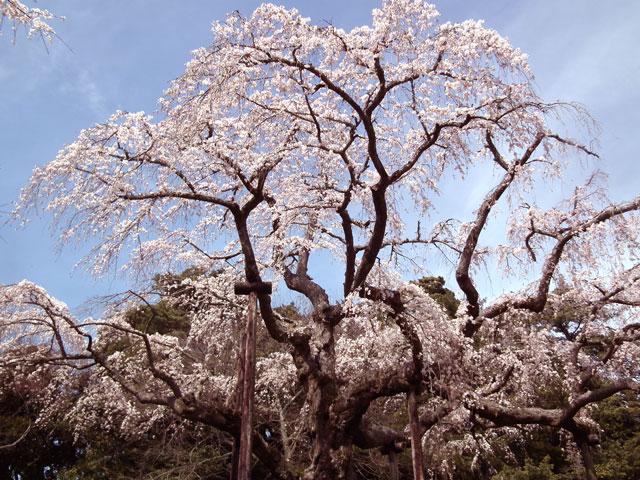 長興山紹太寺の枝垂れ桜1