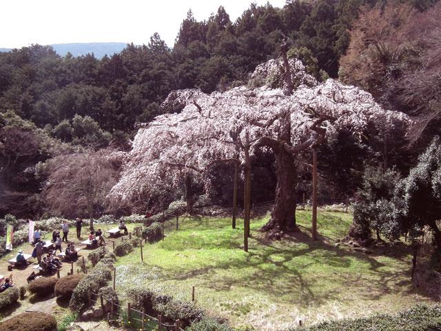 長興山紹太寺の枝垂れ桜2