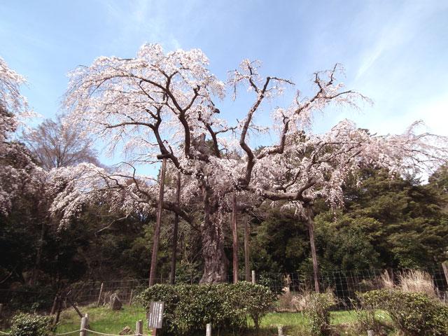 長興山紹太寺の枝垂れ桜3