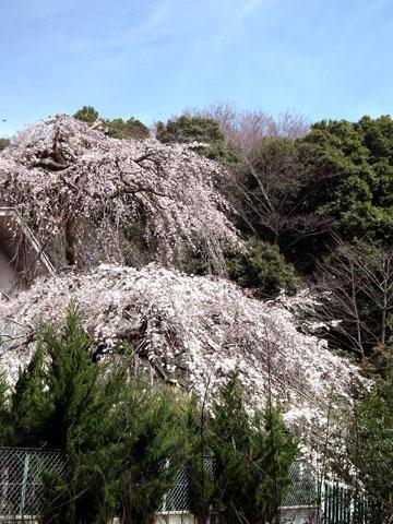 長興山紹太寺の枝垂れ桜4