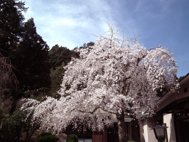 長興山紹太寺の枝垂れ桜6