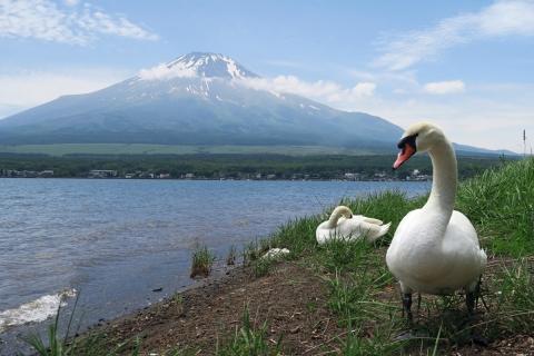 08山中湖白鳥