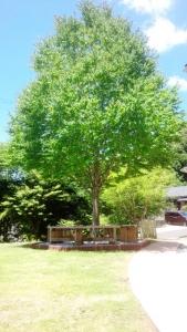 カツラの木①