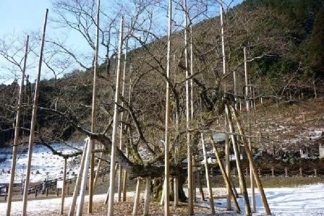 2015.3.25現在の淡墨桜