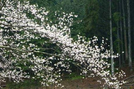 2015-4-5淡墨桜