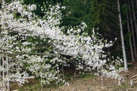 2015,4.12淡墨桜