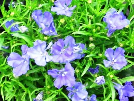 ロベリア ブルー