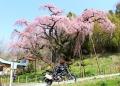 地蔵桜とDUC