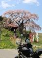 不動桜とDUC