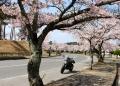 ソメイヨシノ 須賀川