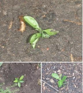 みかんの芽