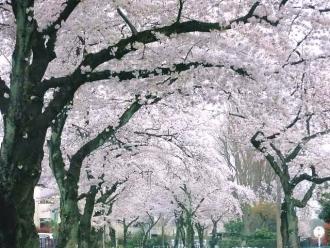 15-4-1 桜2