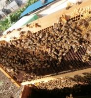 蜜蓋と幼虫