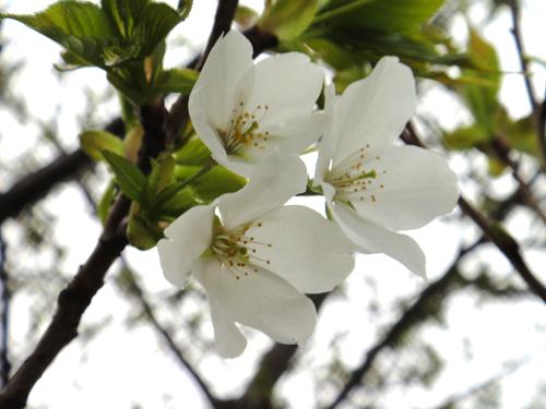 201504Cherry_Blossom2015-1.jpg