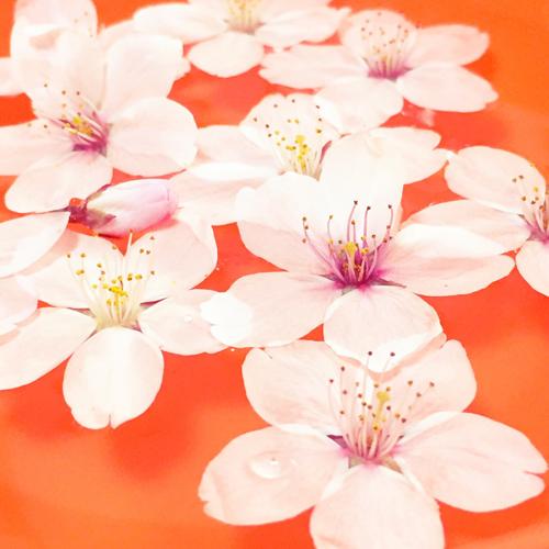 201504Cherry_Blossom2015-11.jpg