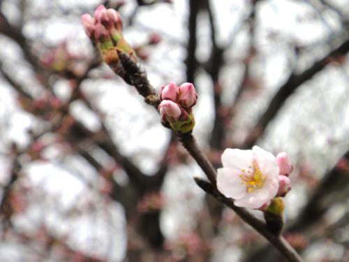 201504Cherry_Blossom2015-4.jpg