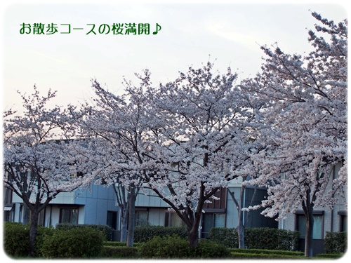 お散歩コースの桜
