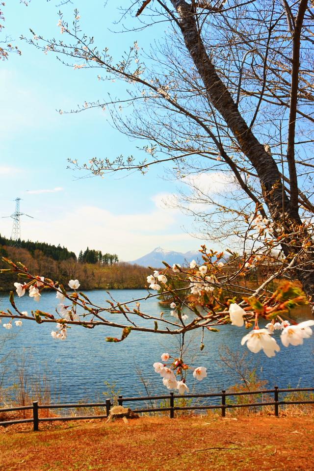 釜臥山と桜