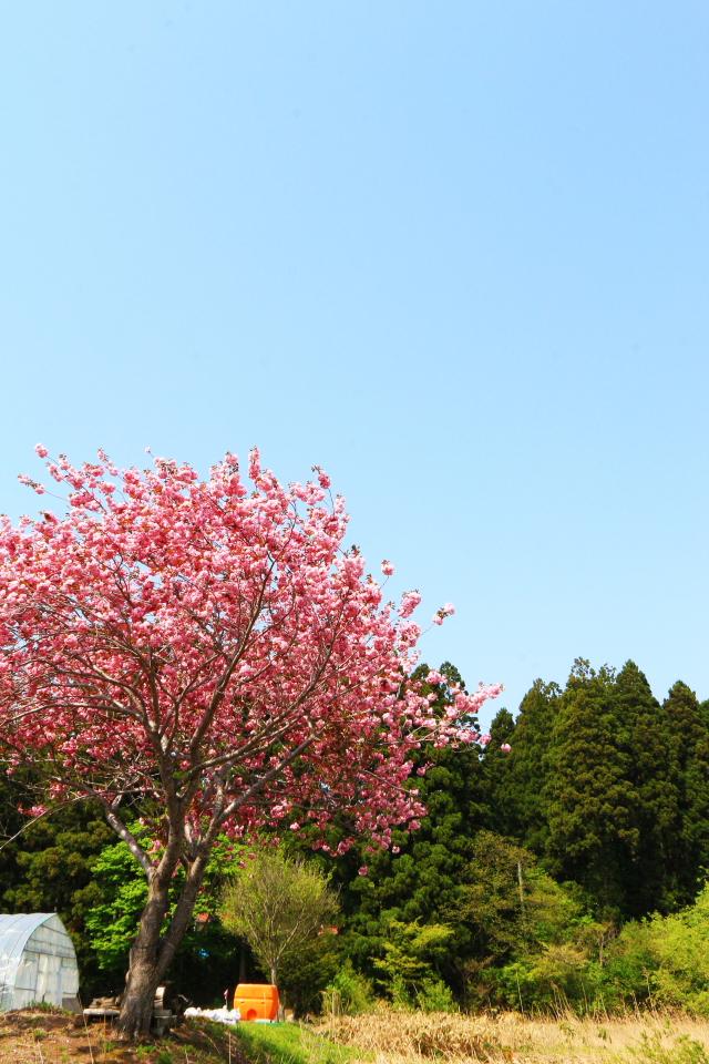 蓬田一本桜2