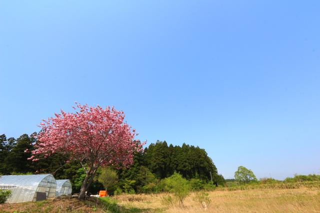 蓬田一本桜3