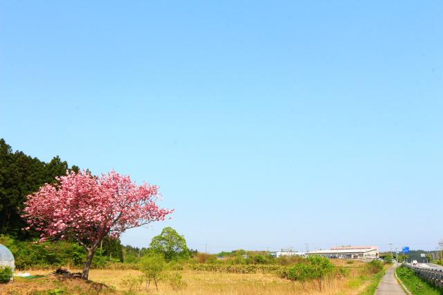 蓬田一本桜4