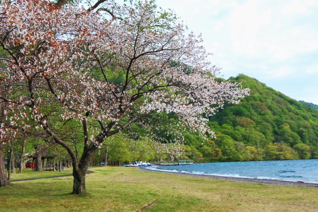 十和田湖の一本桜1