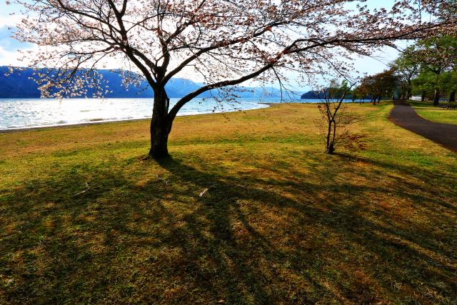 十和田湖の一本桜2