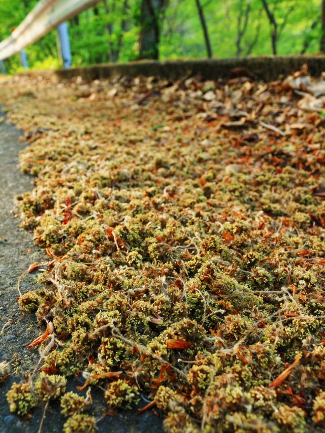 ブナの花粉