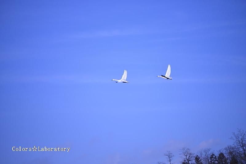 2014 安曇野 白鳥 15