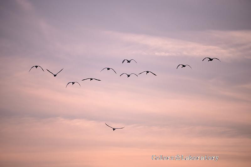 2014 安曇野 白鳥 17