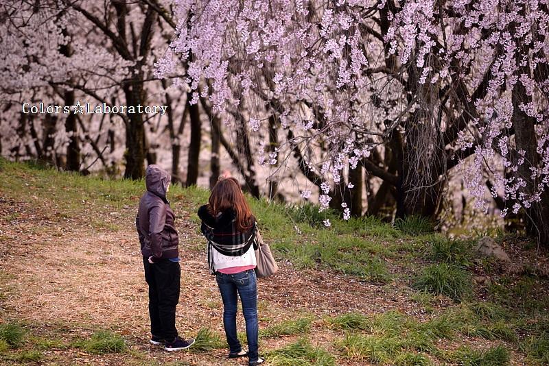 2015 それぞれの桜 2