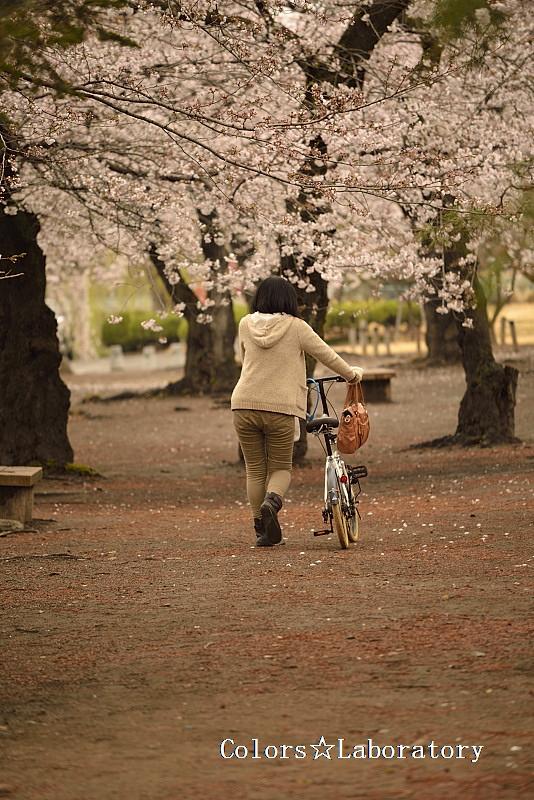 2015 それぞれの桜 5