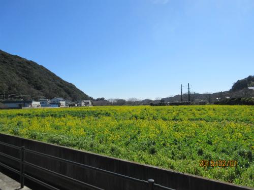 澄んだ空、菜の花満開