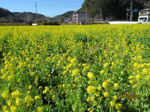 地元菜の花畑
