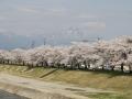 miyagawasenbonzakura5-web300.jpg
