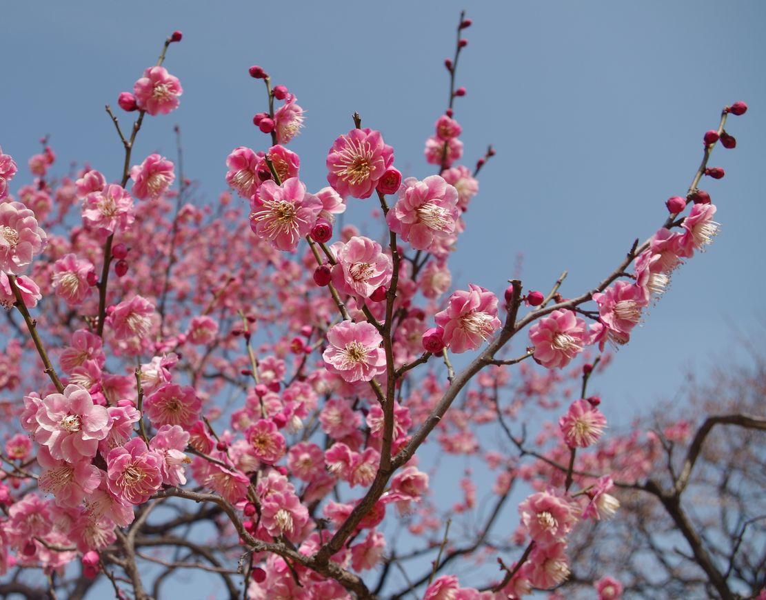 東京工業大学大岡山キャンパスの梅の花