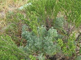 270px-Artemisia_capillaris_1.jpg