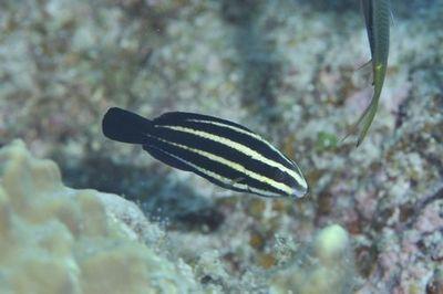 ナンヨウブダイ幼魚