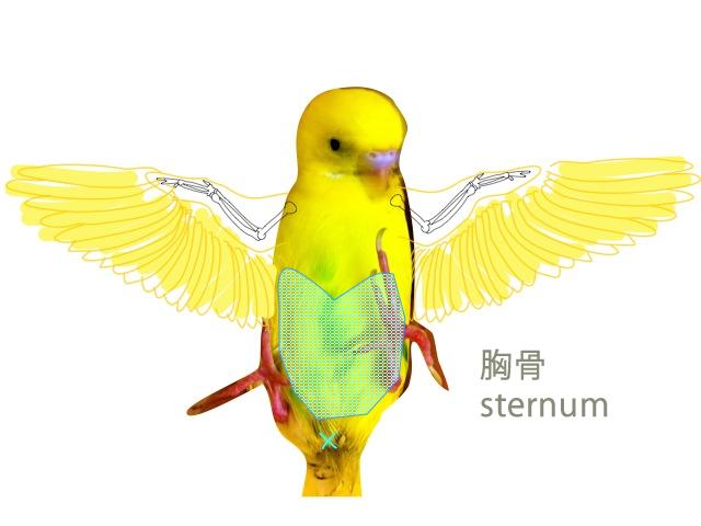 nobisternum.png